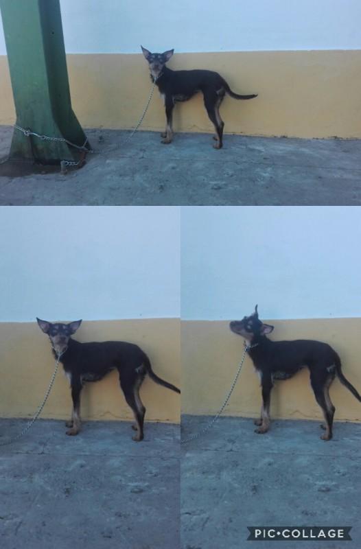 Cadela para adoção